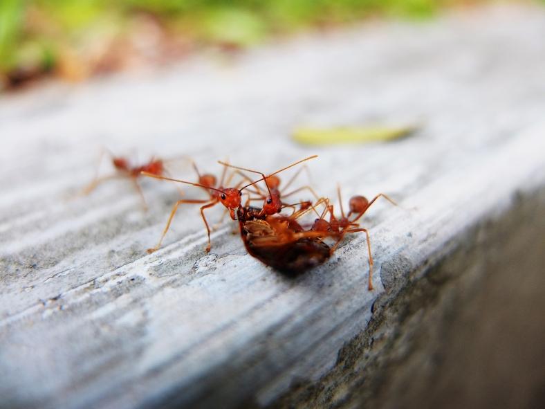 Ants feeding on prey